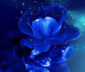 青い薔薇2