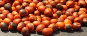Sophora_Secundiflora_seeds